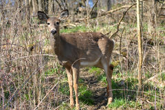 White-tail deer Stock Photography
