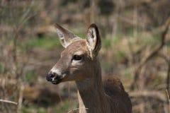 White-tail deer Stock Image