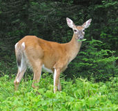 White-tail deer munching leaves. In Grayson Highlands State Park, Virginia Royalty Free Stock Photo
