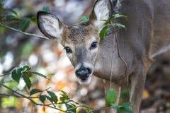 White Tail Deer peeking through a bush Stock Image