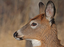White-tail deer portrait Royalty Free Stock Photos