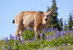 White Tail Deer Purple Lupine Hurricane Ridge Royalty Free Stock Images