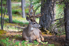 White Tail Deer Resting Stock Images