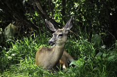 White Tail Deer Stock Image