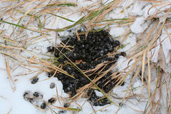 White Tail Deer Scat in the Snow.  Stock Photos