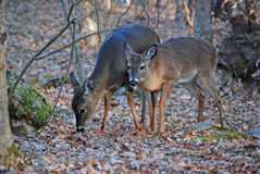 White Tail Deer in the Smoky Mountains Royalty Free Stock Photos
