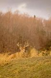 White tail deer staying low during hunting season. 1/5. White tail deer staying low during hunting season, 1/5 Royalty Free Stock Photos
