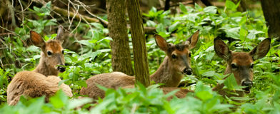 White Tail Deer Stock Photography