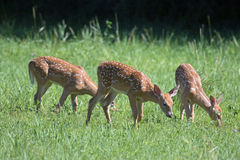 White Tail Deer Triplets Royalty Free Stock Images