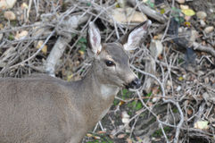 White Tail Deer in the Wild Stock Images