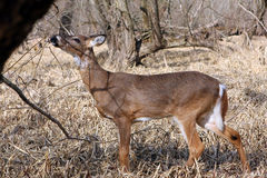 White-tail Deer Young Buck Stock Photo