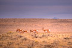 White Tail Deers In Wyoming stock image