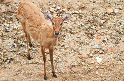 White-tail doe. White tail doe in the open zoo,Thailand Royalty Free Stock Image