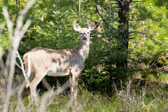 White Tail Doe. In forested area looking Royalty Free Stock Image
