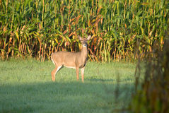 A White Tail Doe in a Corn Field Stock Photo