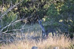 White Tail Doe Deer Royalty Free Stock Photos