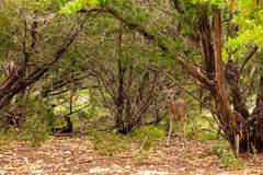 White Tail Doe Stock Photography