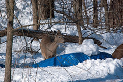 A White Tail Doe in Snow Royalty Free Stock Image