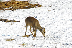 A White Tail Doe in Winter Royalty Free Stock Photo