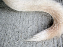 White tail dog on floor Royalty Free Stock Photo
