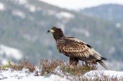 White tail eagle Royalty Free Stock Photo