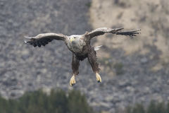 White tail Eagle. Sea eagle more specifically a white tail eagle approaches to snatch a fish from the water Royalty Free Stock Images