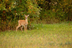 White-tail Fawn. Young white tail deer stands alert in clearing, early autumn Stock Photography