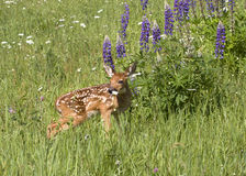 White tail fawn with purple lupine Royalty Free Stock Photos