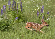 White tail fawn running in a field of wildflowers Royalty Free Stock Photo