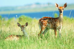 White-tail fawns royalty free stock photography