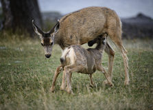 White tail nursing. A white tail deer doe nurses its fawn in Waterton Lakes national park, Canada Stock Photos