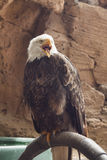 White-tailed american eagle. Screaming Stock Photo
