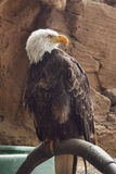 White-tailed american eagle. Sitting on support Royalty Free Stock Photos