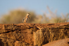 White-tailed Antelope Squirrel. Lives among precolumbian ruins in Wupatki National Monument near Flagstaff, Arizona Stock Image