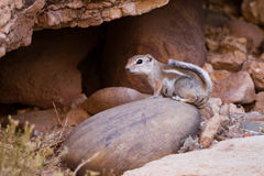 White-tailed Antelope Squirrel Royalty Free Stock Image