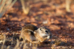White-tailed Antelope Squirrel Stock Photos