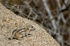 White-tailed Antelope Squirrel, Ammospermophilus leucurus. White-tailed Antelope Squirrel in Joshua Tree National Park in California Stock Image