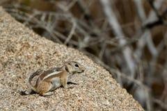 White-tailed Antelope Squirrel, Ammospermophilus leucurus Stock Image