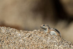 White-tailed Antelope Squirrel, Ammospermophilus leucurus. White-tailed Antelope Squirrel in Joshua Tree National Park in California Royalty Free Stock Images