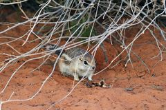 White-tailed Antelope Squirrel at Valley of Fire State Park, Nevada royalty free stock photo