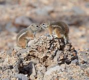 A White-Tailed Antelope Squirrel royalty free stock photography