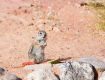 White-tailed  Antelope Squirrels  (Ammospermophilus leucurus) stands a column about watermelon rinds Royalty Free Stock Photo
