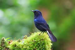 White-tailed Blue Robin Royalty Free Stock Image