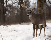 White-tailed buck Royalty Free Stock Image
