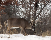 White-tailed buck Stock Image