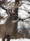 White-tailed buck Stock Photography