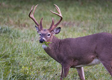 White-tailed Buck Dining on Grass Stock Photography