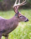White-tailed Buck Dining on Grass Royalty Free Stock Image
