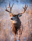 White-tailed Buck. This White-tailed buck greets the new Winter day in Colorado Royalty Free Stock Images