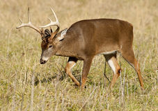 White tailed buck in open field Royalty Free Stock Photography